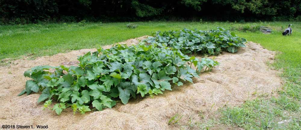 Pumpkin and squash vines
