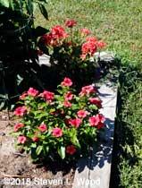 Vinca and geranium