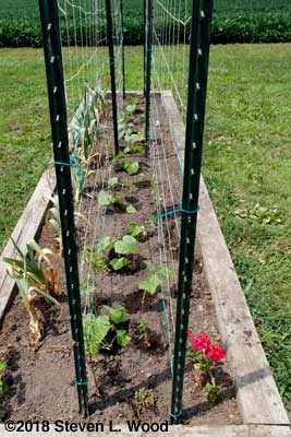 Cucumber plants between double trellis