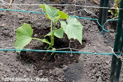 A healthy cucumber plant