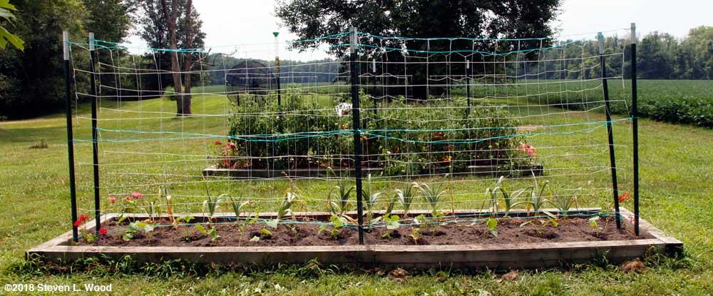 Cucumbers transplanted