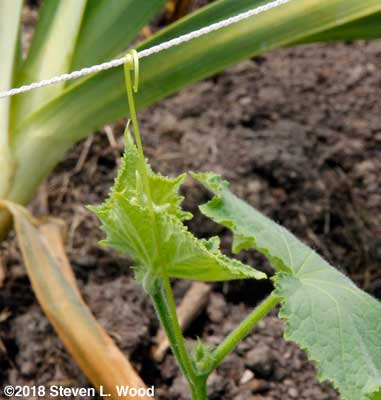Cucumber plant tendril attached to netting