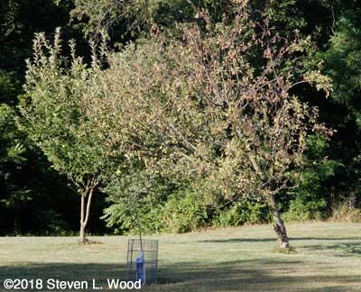 Dying Granny Smith apple tree