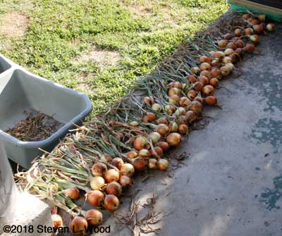Onions curing on back porch