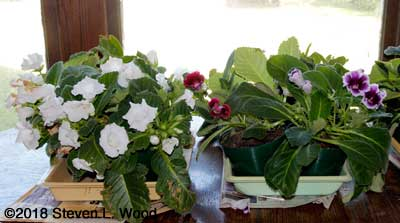 Gloxinias in bloom on dining room table