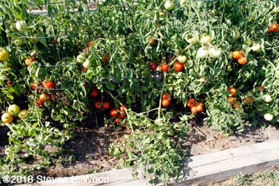 Closeup of lots of tomatoes