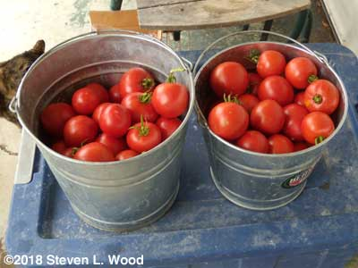 Two buckets of ripe tomatoes