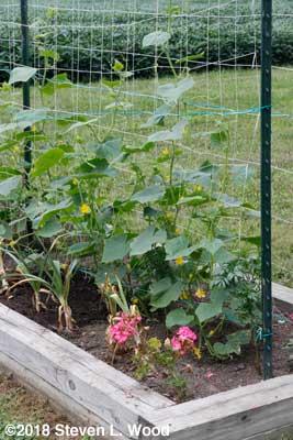 JLP cucumbers blooming