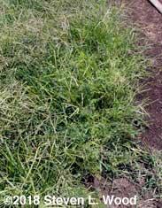 Overgrown carrots