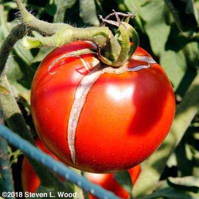 Cracked tomato - cull