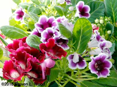 Gloxinia blooms