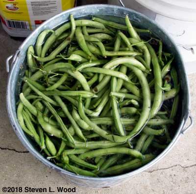 Picked green beans soaking in bucket