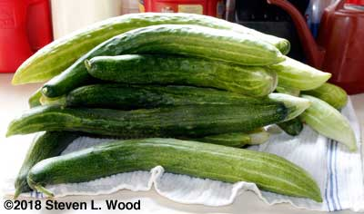 First harvest of cucumbers in 2018