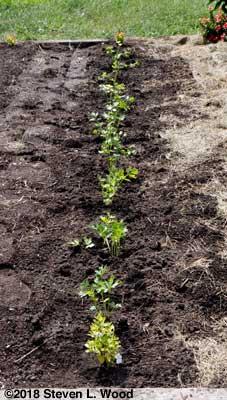 Row of parsley