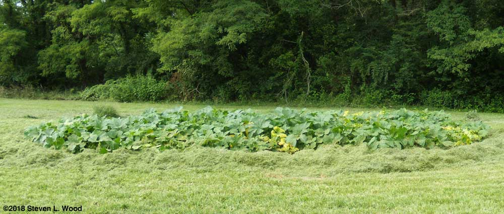 Pumpkin and butternut squash vines