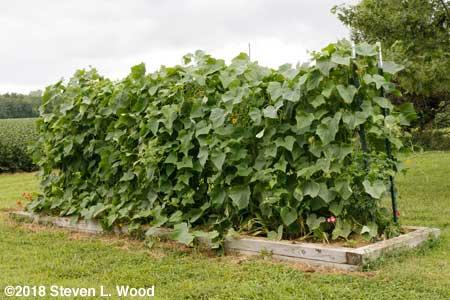 Japanese Long Pickling cucumber vines