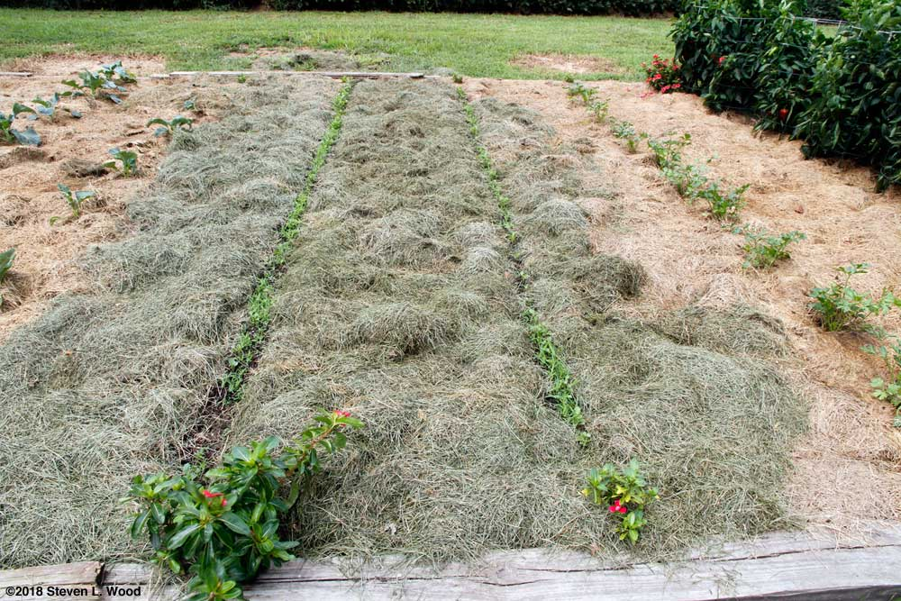 Kale rows mulched