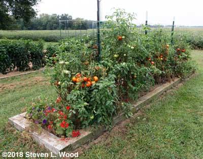 Earlirouge tomatoes producing again