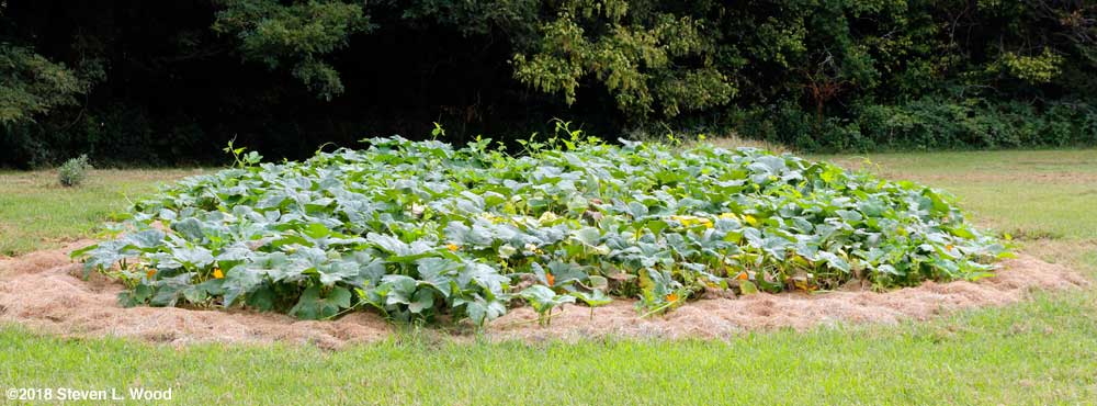Our pumpkin and butternut vines