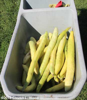 Cucumbers picked for seed production
