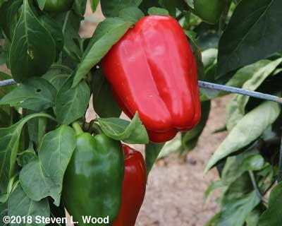 A ripe Earliest Red Sweet pepper