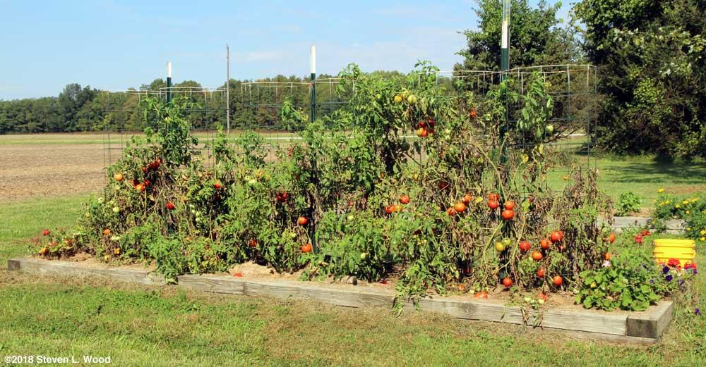 Tomato plants still producing good fruit