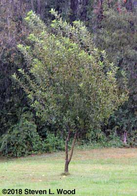 Definitely not a Stayman Winesap tree