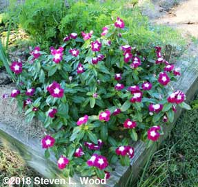 Bicolor vinca at corner of bed by carrots