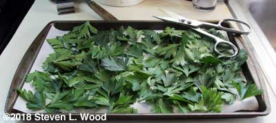 Parsley on parchment paper covered cookie sheet