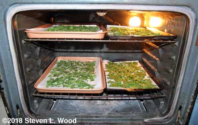 First four cookie sheets of parsley drying in the oven