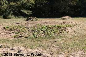 Flattened pumpkin vines