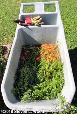 Soaking carrots in garden cart
