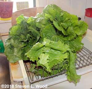 Rinsed lettuce in drainer