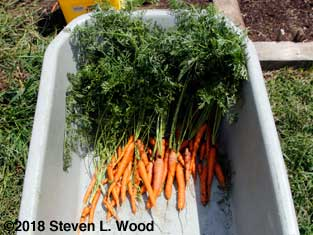 Carrots after first rinse