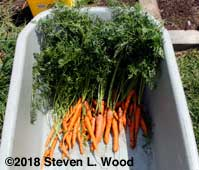 Some of our fall carrots