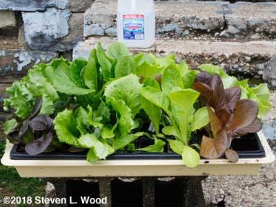 Spring lettuce transplants