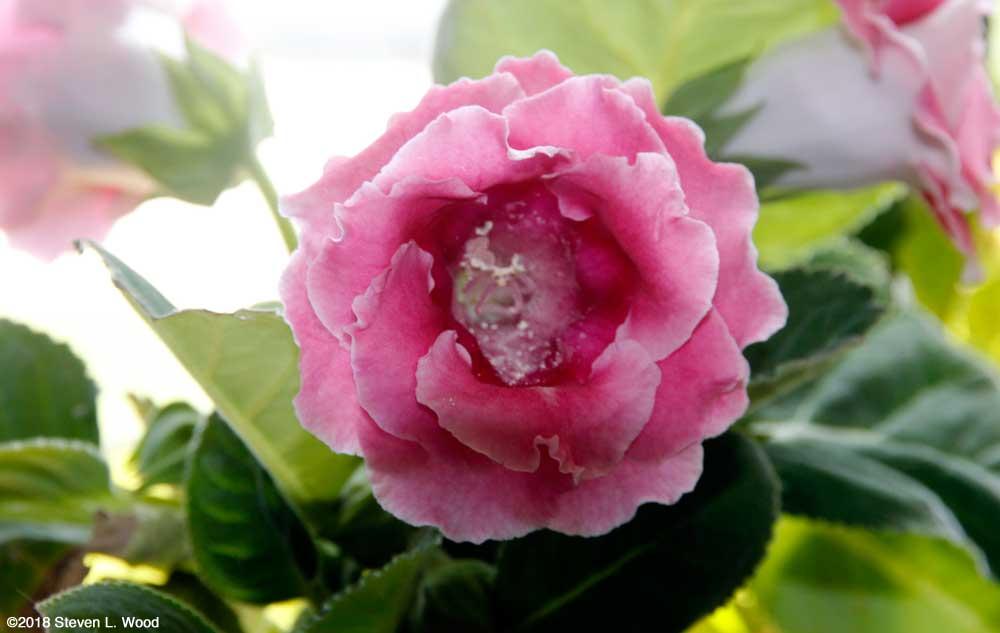 Pretty gloxinia bloom
