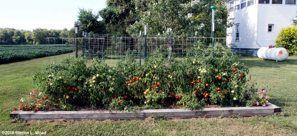Caged Earlirouge tomatoes