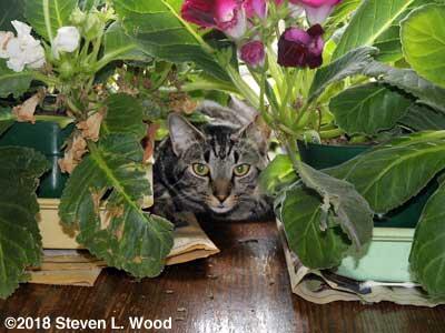 Cat in gloxinias