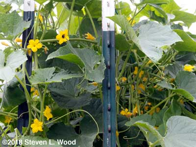Profuse blooms on Japanese Long Pickling cucumber vines