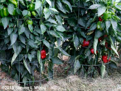 Earliest Red Sweet pepper plants