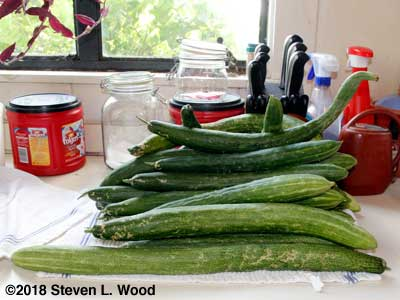Japanese Long Pickling cucumbers...with one serpent looking cuke