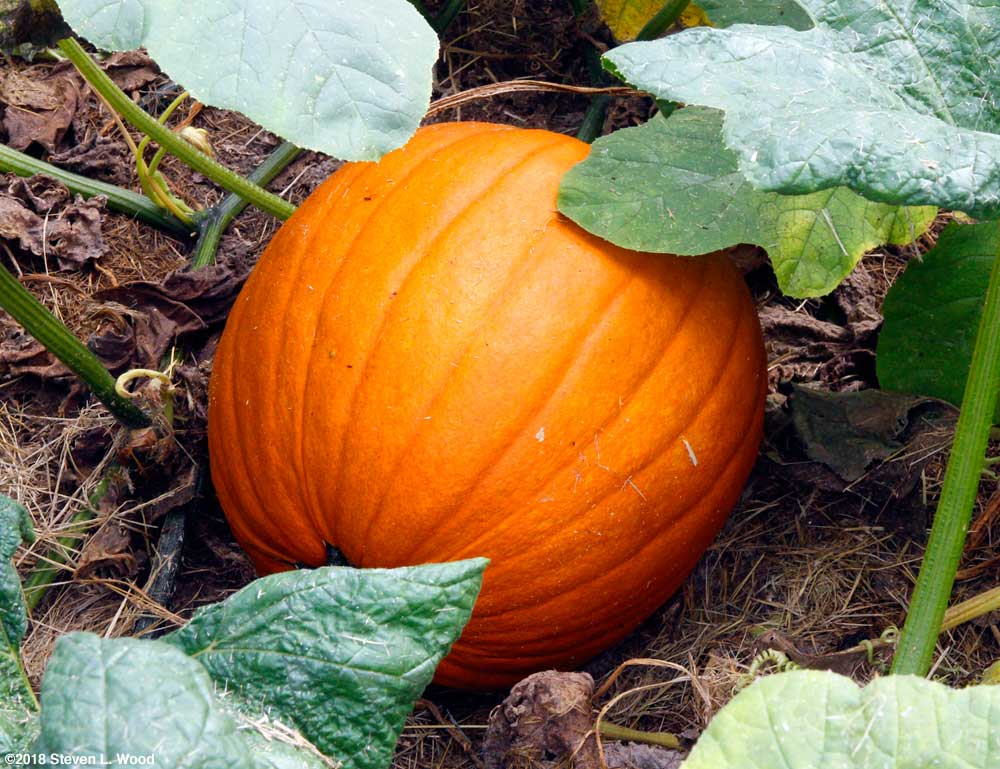 Our first pumpkin of the season