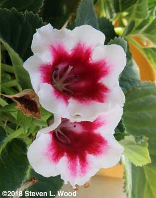 Bicolor gloxinia blooms