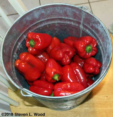 A bucket of Earliest Red Sweet peppers