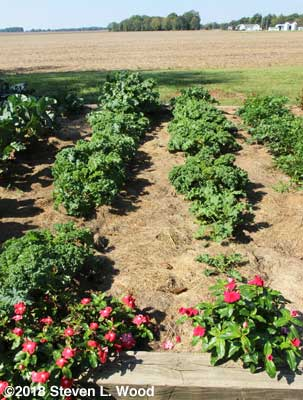 Kale rows almost ready for picking