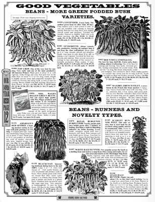 Shumway bush beans