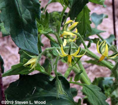 Blooms on Earlirouge tomato plant
