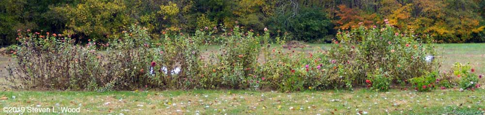 Forty foot row of zinnias