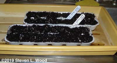 Petunias seeded in egg carton cells
